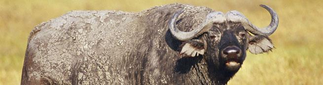 Imagem de um búfalo